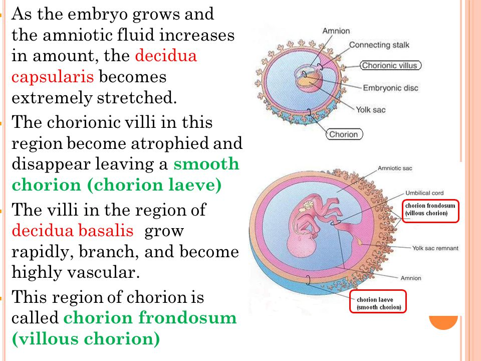 As the embryo grows and the amniotic fluid increases in amount, the decidua capsularis becomes extremely stretched.