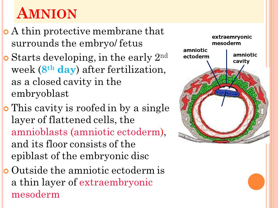 Amnion A thin protective membrane that surrounds the embryo/ fetus