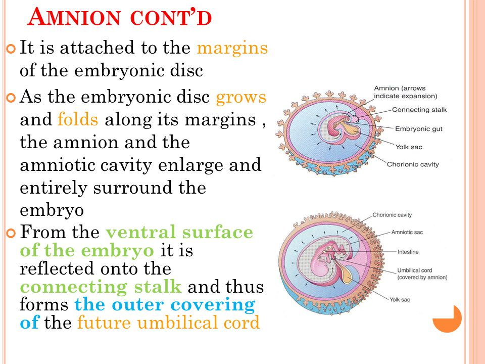 Amnion cont'd It is attached to the margins of the embryonic disc