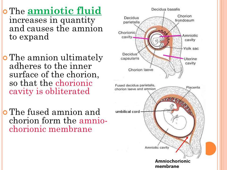 The fused amnion and chorion form the amnio- chorionic membrane