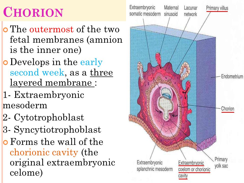 Chorion The outermost of the two fetal membranes (amnion is the inner one) Develops in the early second week, as a three layered membrane :