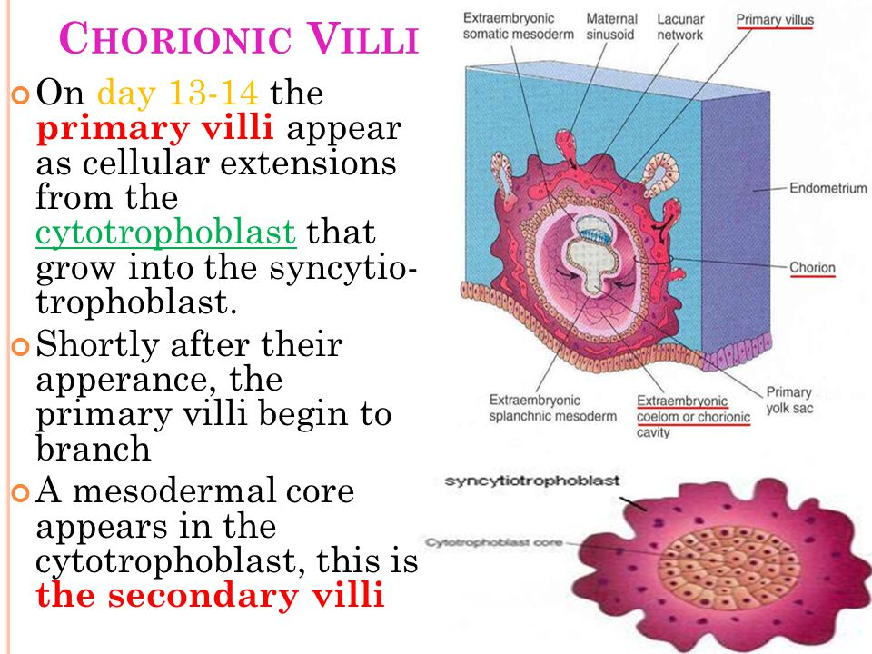Chorionic Villi On day 13-14 the primary villi appear as cellular extensions from the cytotrophoblast that grow into the syncytio- trophoblast.
