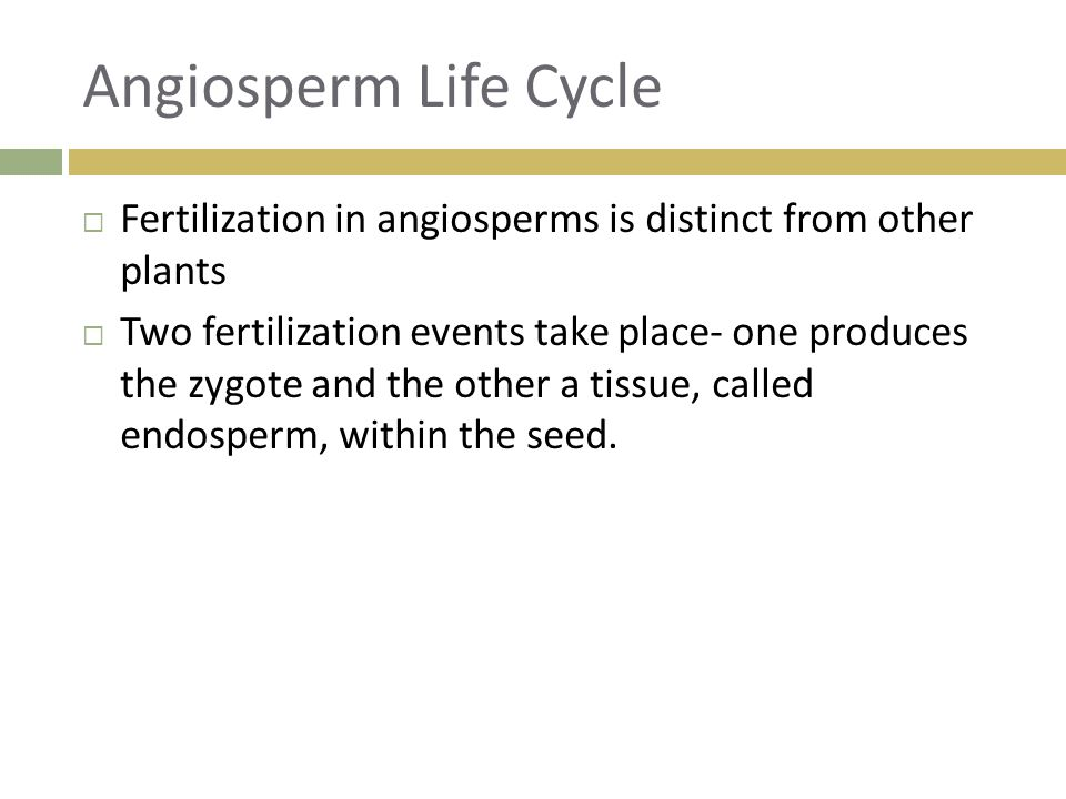 Angiosperm Life Cycle Fertilization in angiosperms is distinct from other plants.