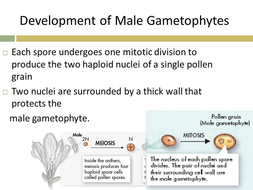 Development of Male Gametophytes
