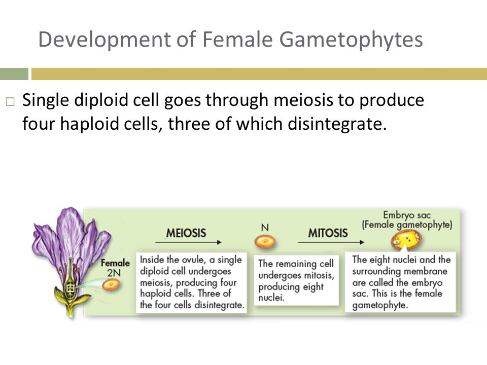 Development of Female Gametophytes