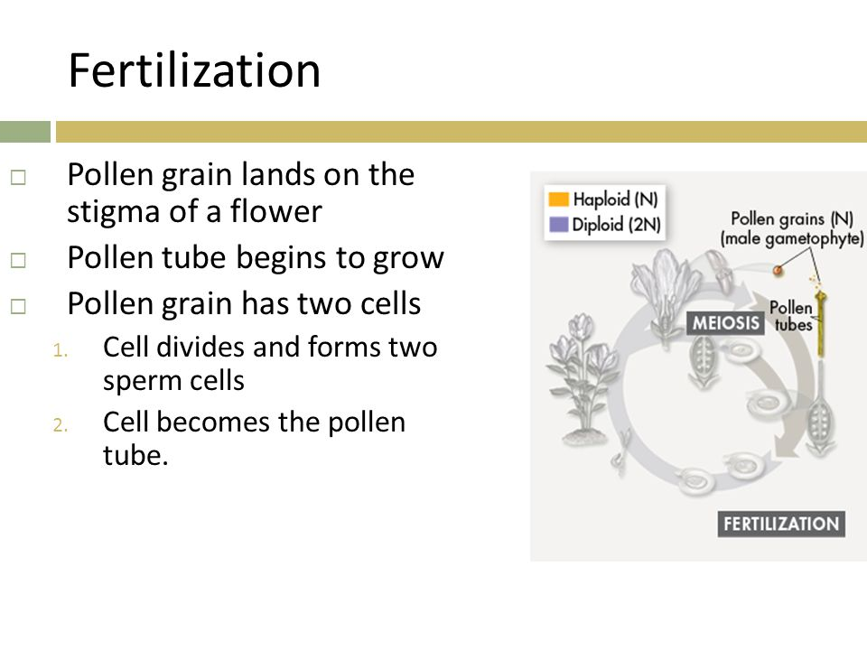 Fertilization Pollen grain lands on the stigma of a flower