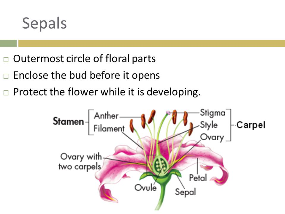 Sepals Outermost circle of floral parts