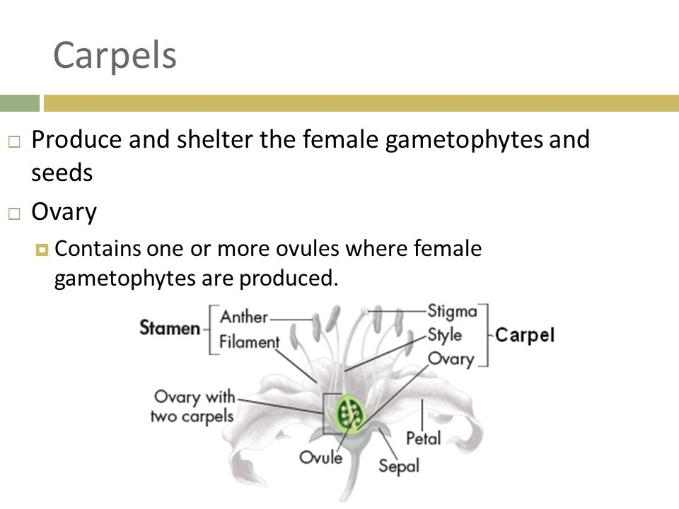 Carpels Produce and shelter the female gametophytes and seeds Ovary