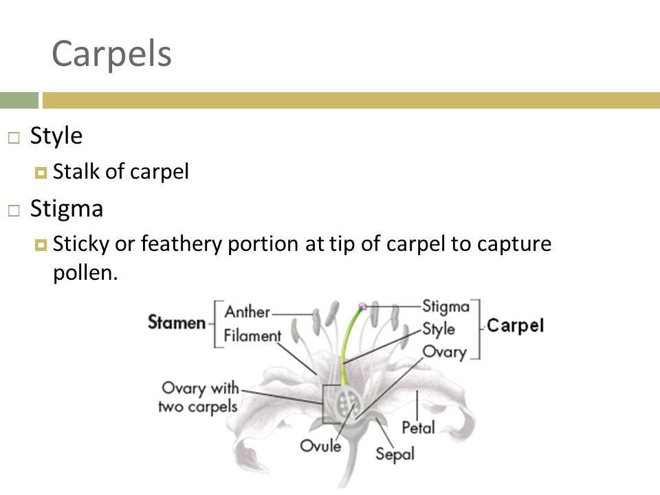 Carpels Style Stigma Stalk of carpel