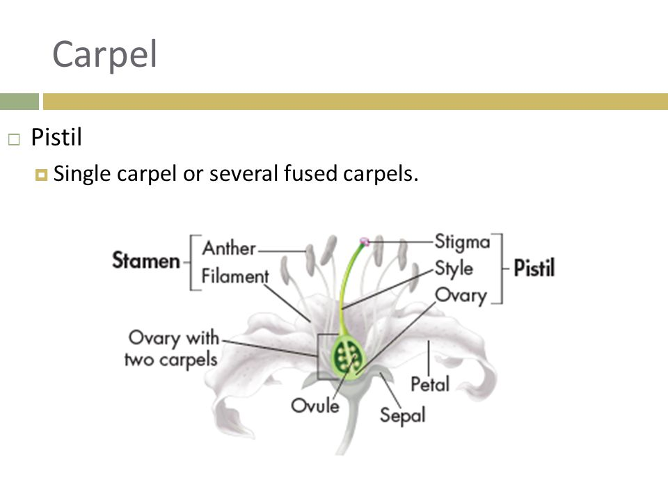 Carpel Pistil Single carpel or several fused carpels.