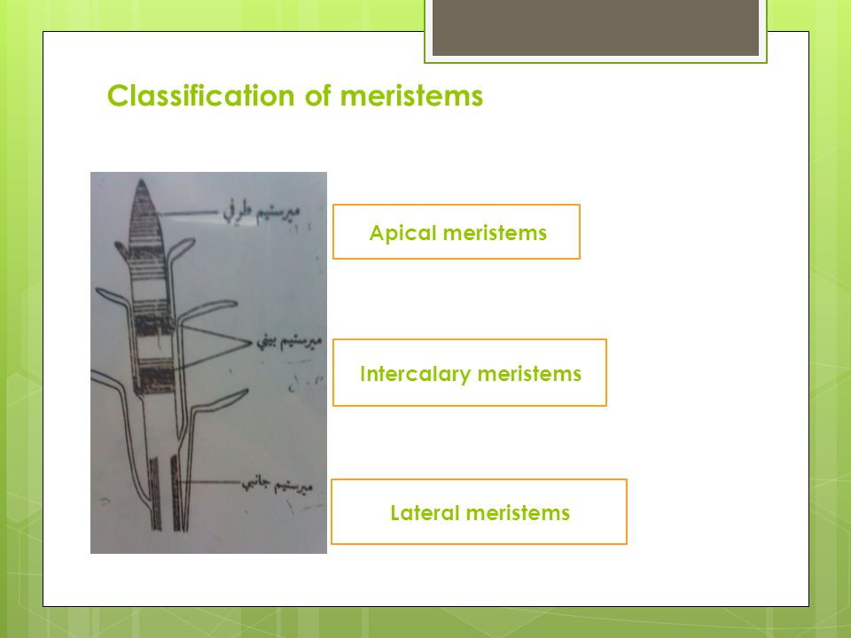 Classification of meristems