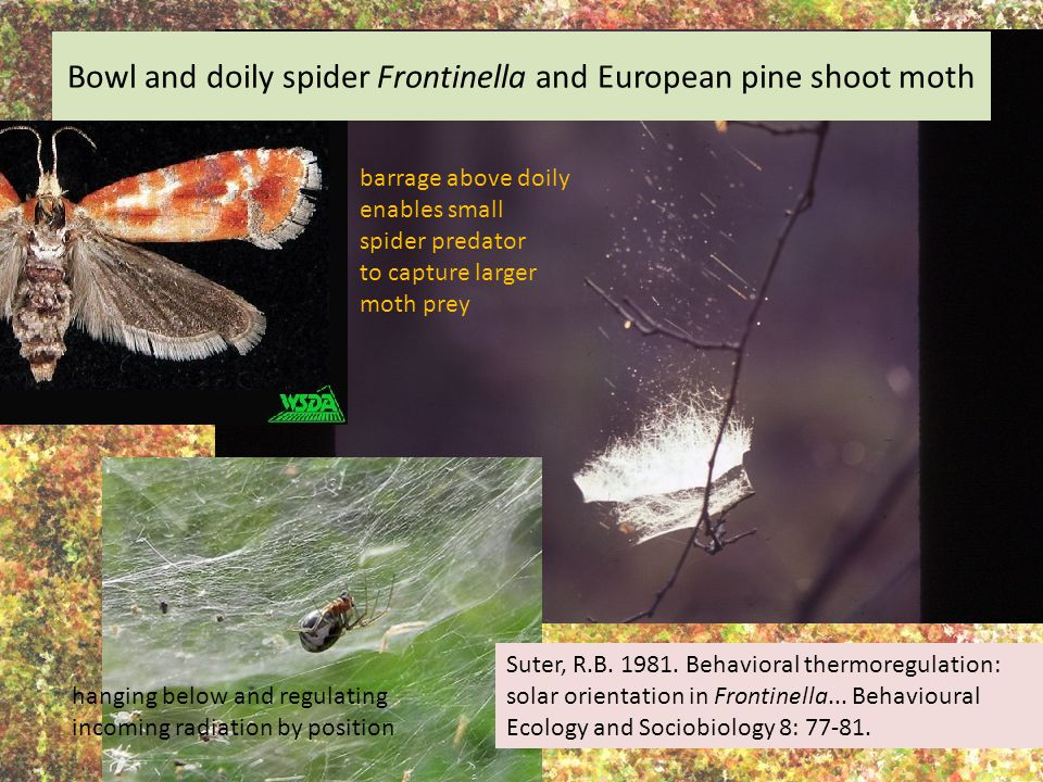 Bowl and doily spider Frontinella and European pine shoot moth