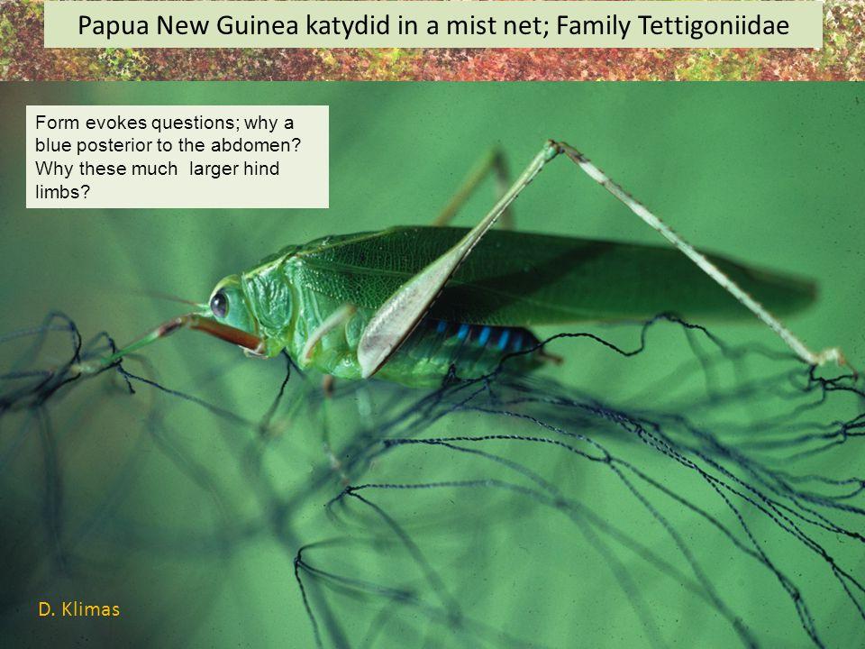 Papua New Guinea katydid in a mist net; Family Tettigoniidae