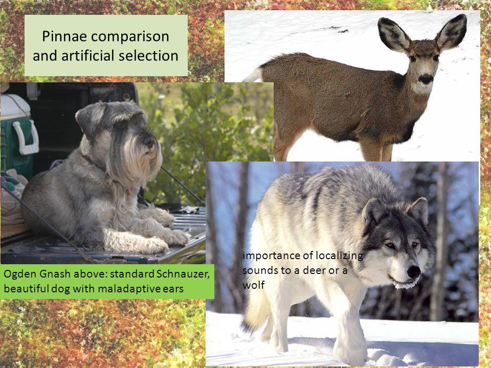 Pinnae comparison and artificial selection