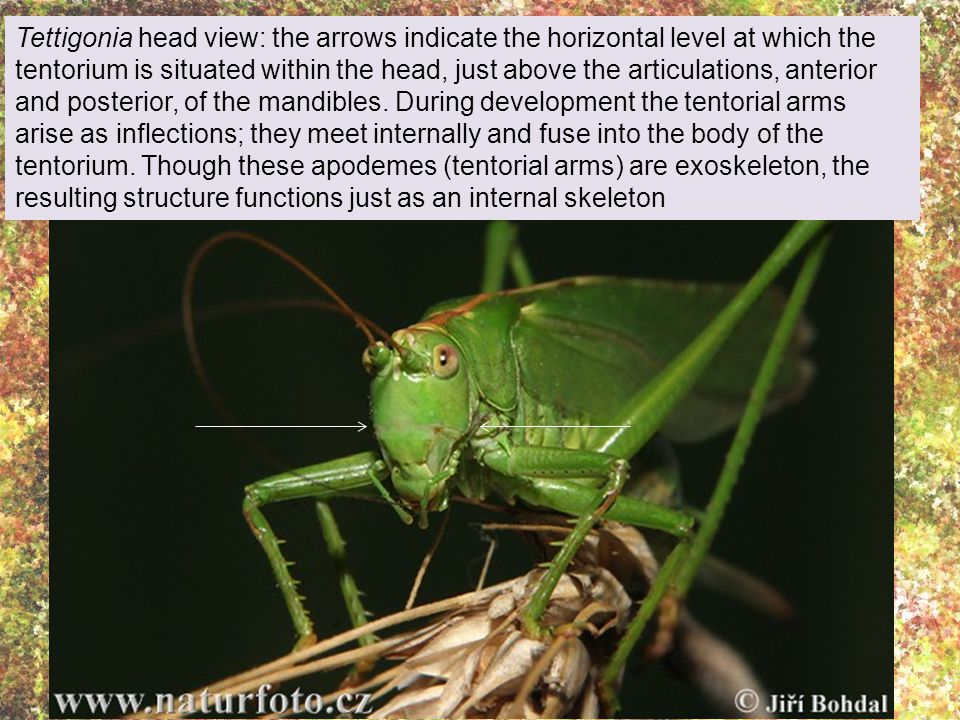 Tettigonia head view: the arrows indicate the horizontal level at which the tentorium is situated within the head, just above the articulations, anterior and posterior, of the mandibles.