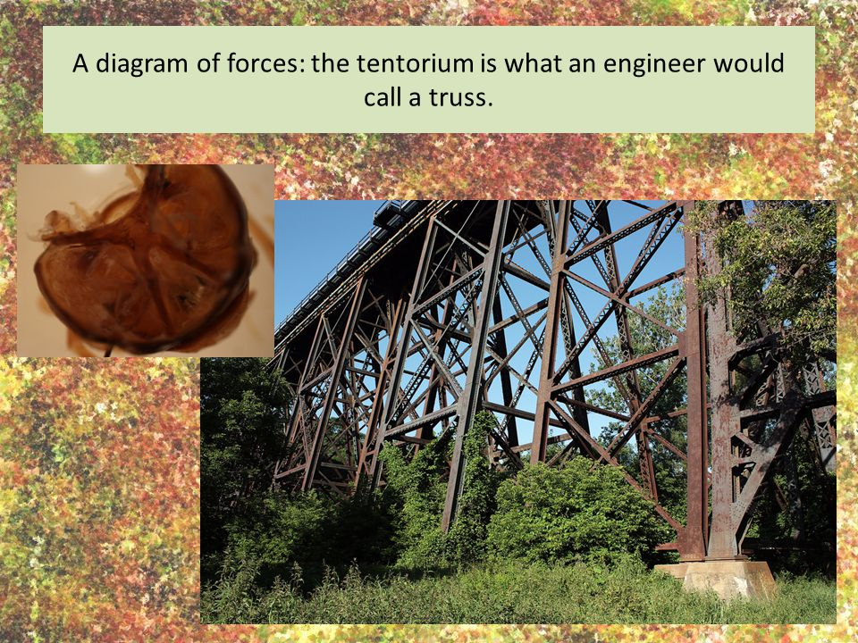 A diagram of forces: the tentorium is what an engineer would call a truss.