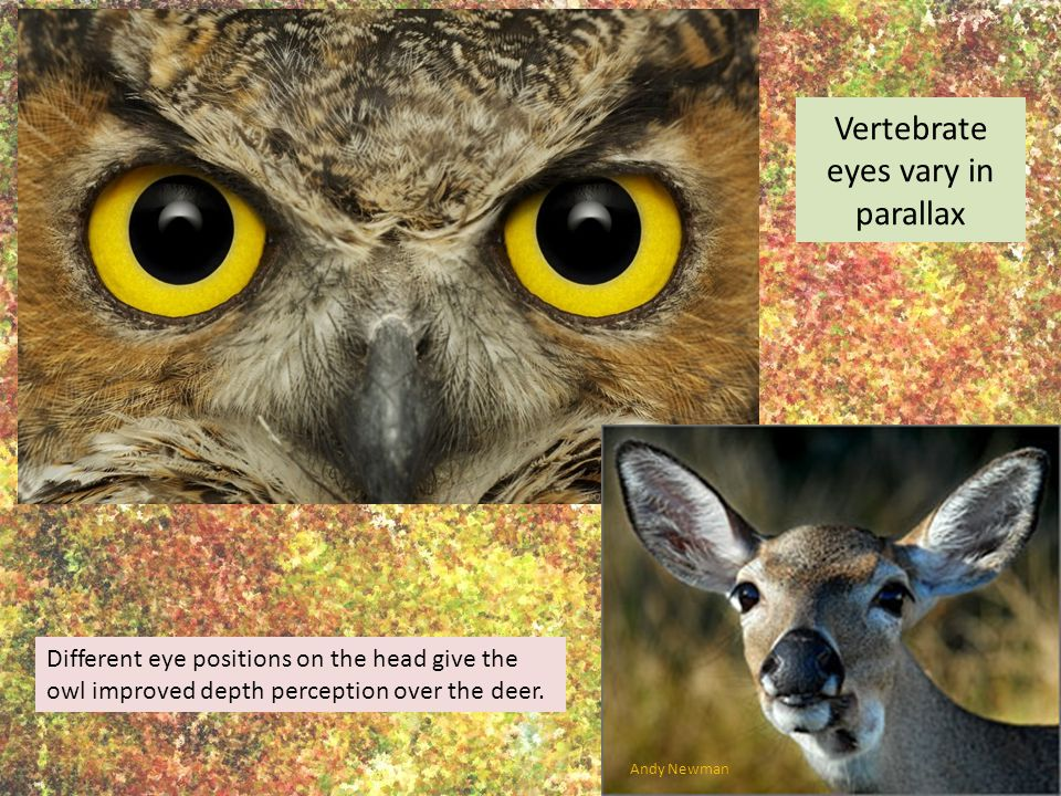 Vertebrate eyes vary in parallax