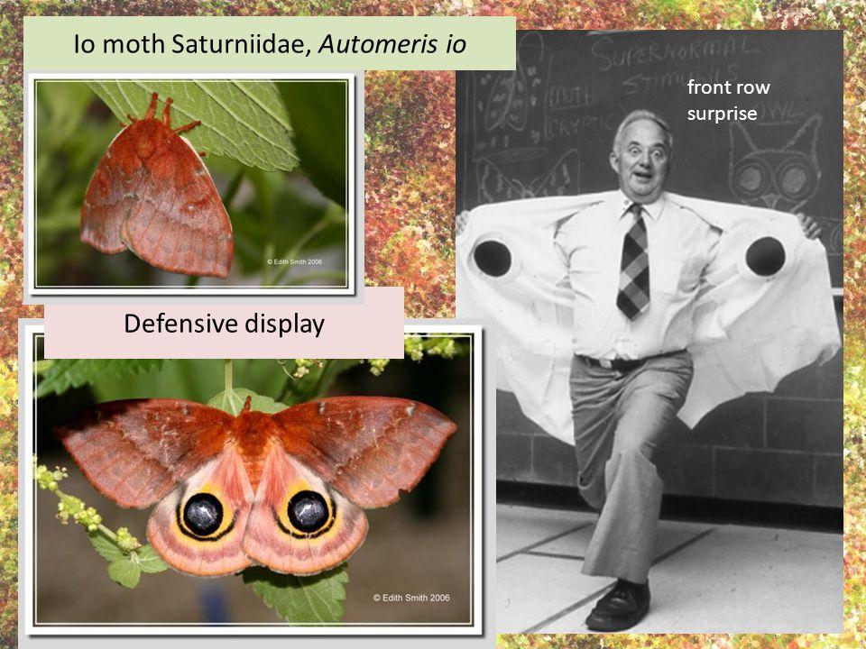 Io moth Saturniidae, Automeris io