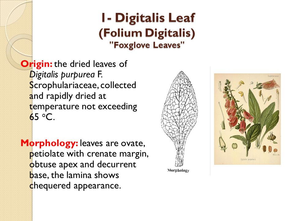 1- Digitalis Leaf (Folium Digitalis) Foxglove Leaves