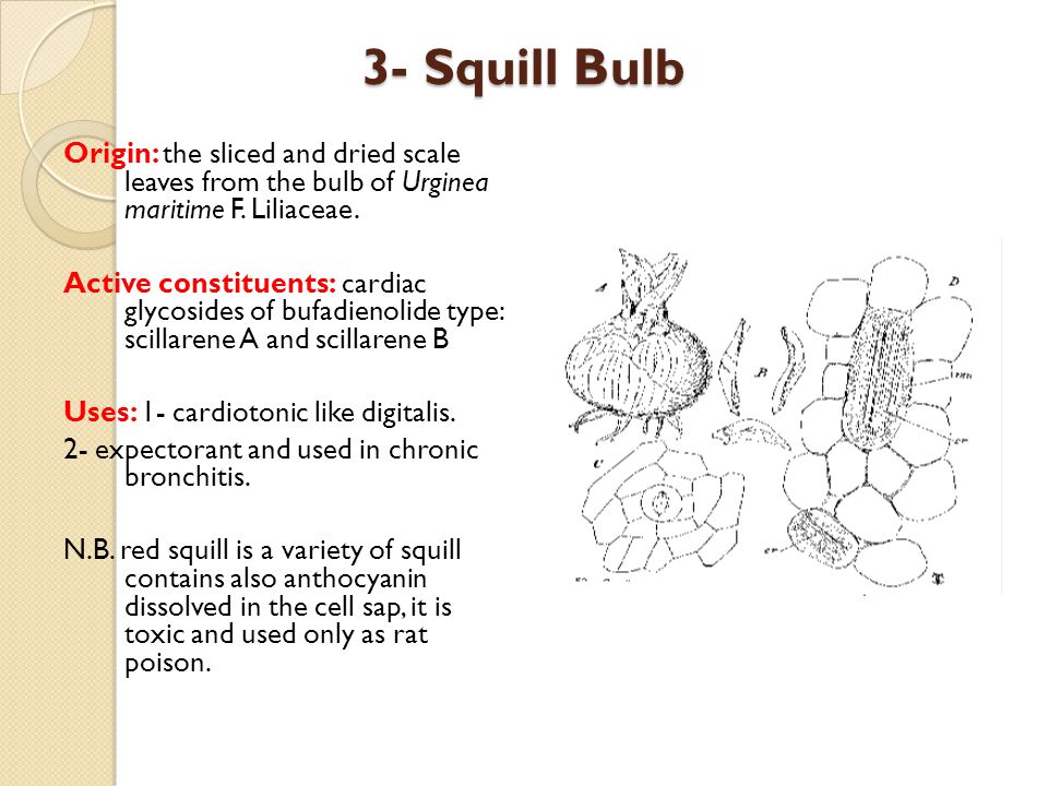 3- Squill Bulb Origin: the sliced and dried scale leaves from the bulb of Urginea maritime F. Liliaceae.