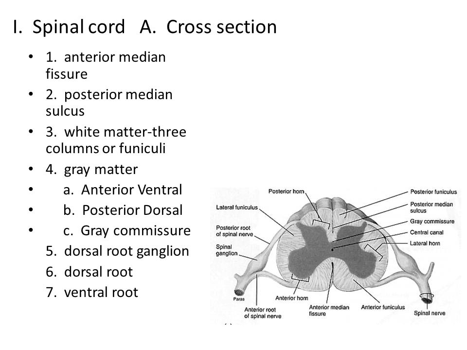 I. Spinal cord A. Cross section