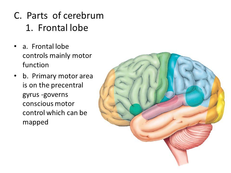 C. Parts of cerebrum 1. Frontal lobe