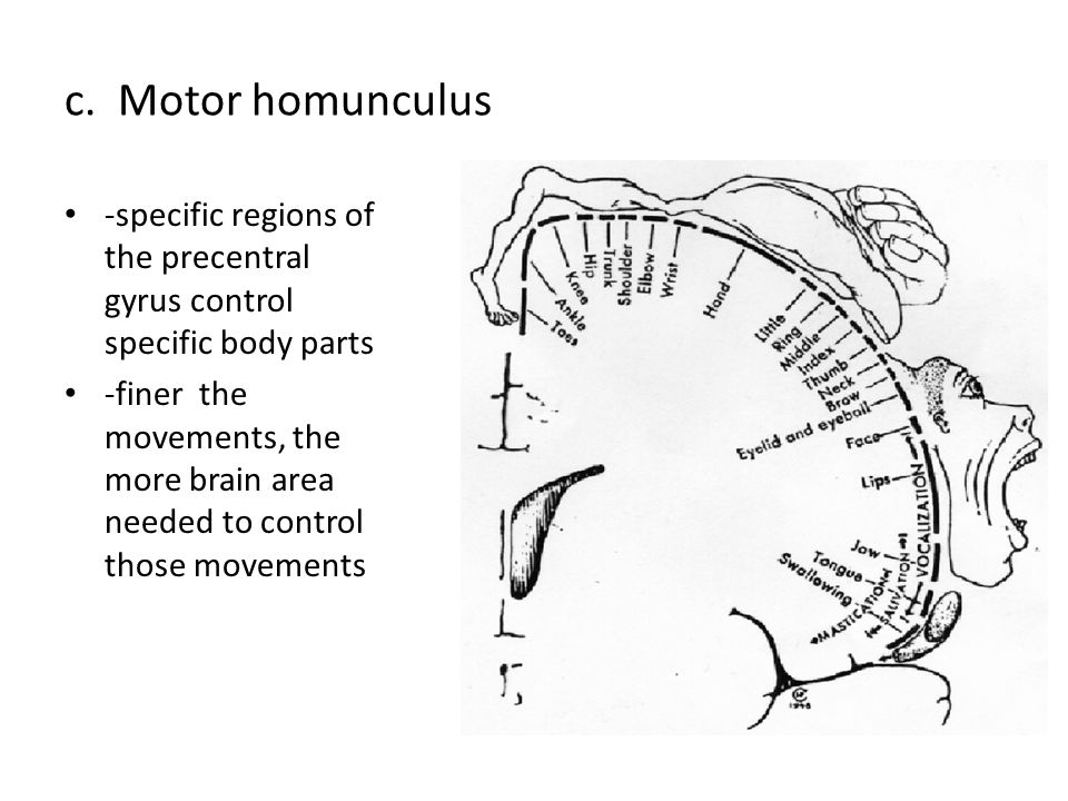c. Motor homunculus -specific regions of the precentral gyrus control specific body parts.