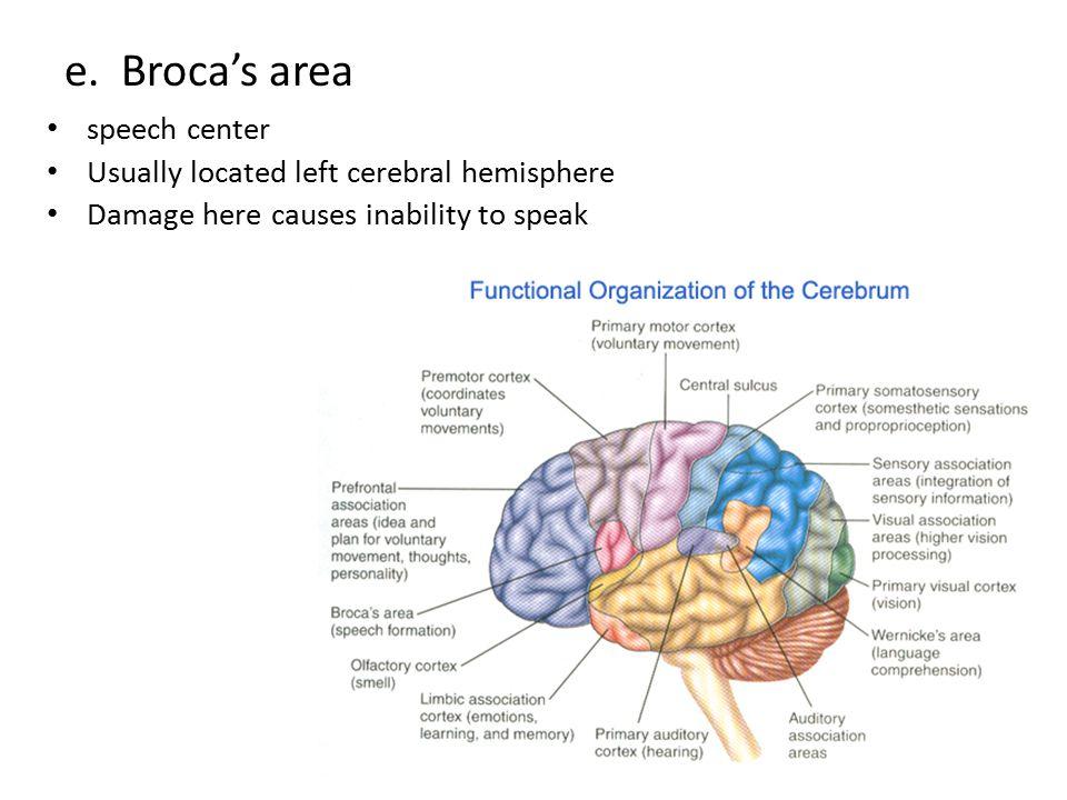 e. Broca's area speech center Usually located left cerebral hemisphere