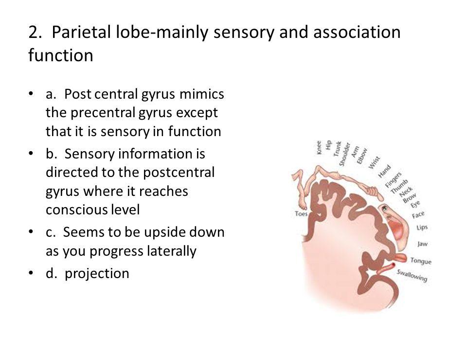 2. Parietal lobe-mainly sensory and association function
