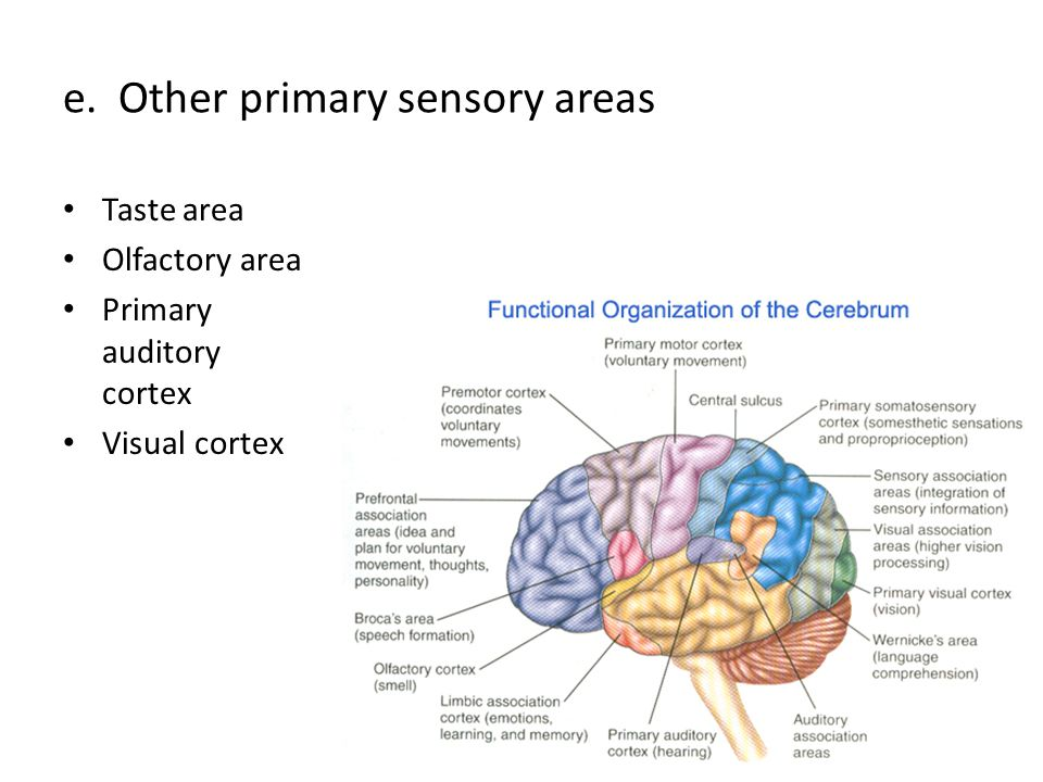 e. Other primary sensory areas