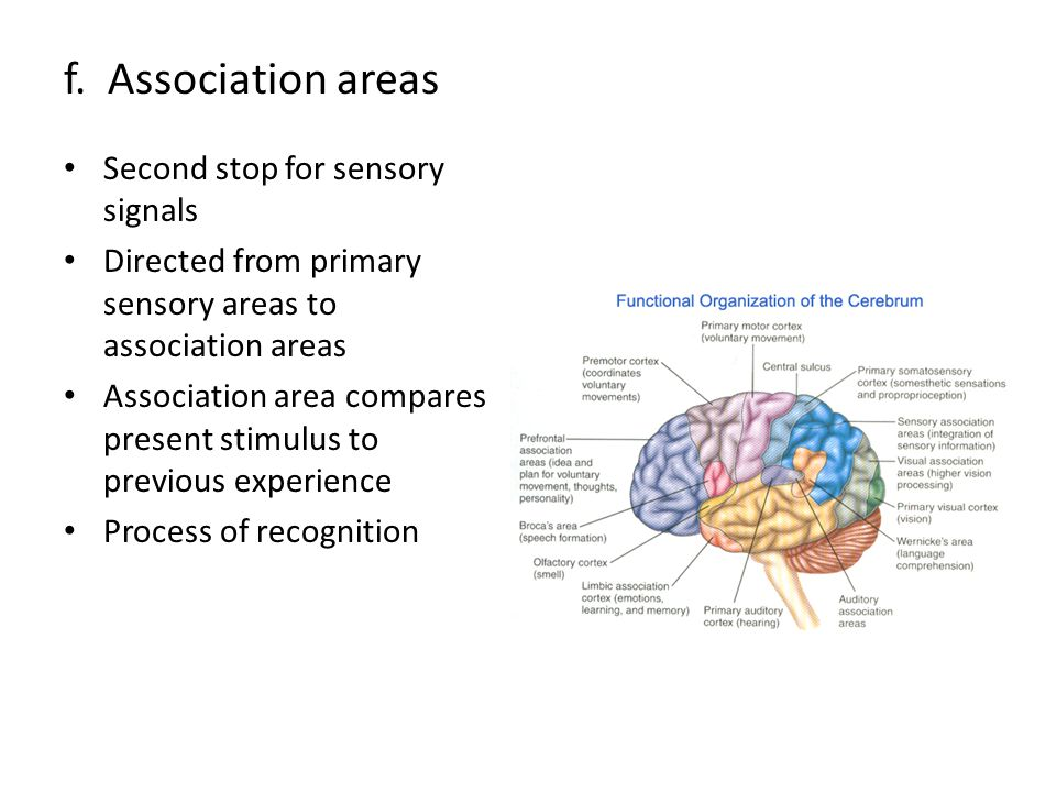 f. Association areas Second stop for sensory signals