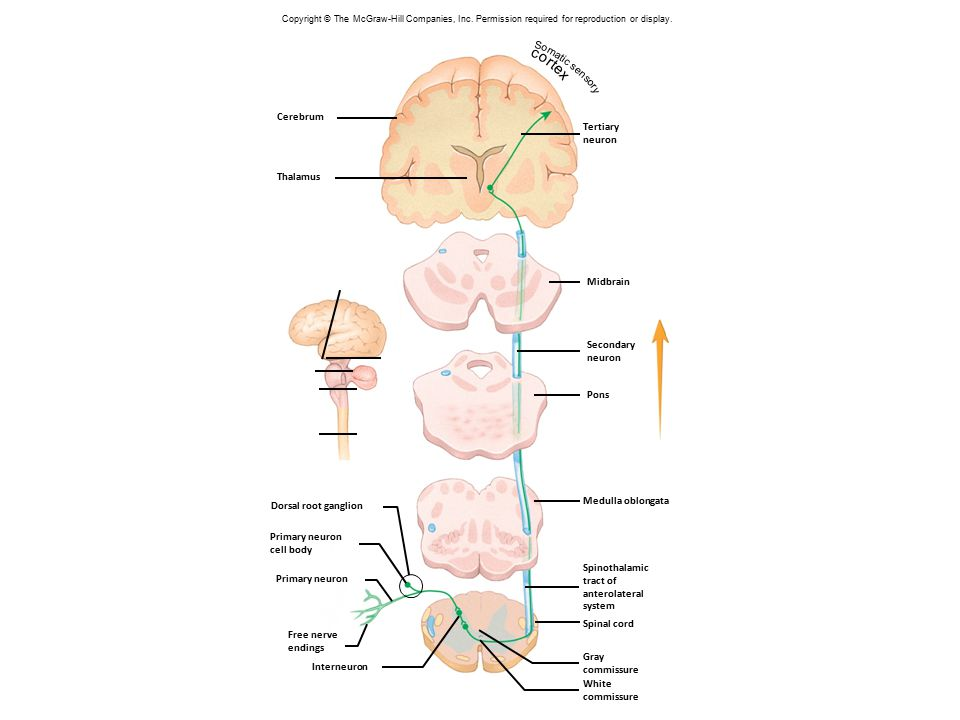 Fig. 14.8 Somatic sensory cortex Cerebrum Tertiary neuron Thalamus