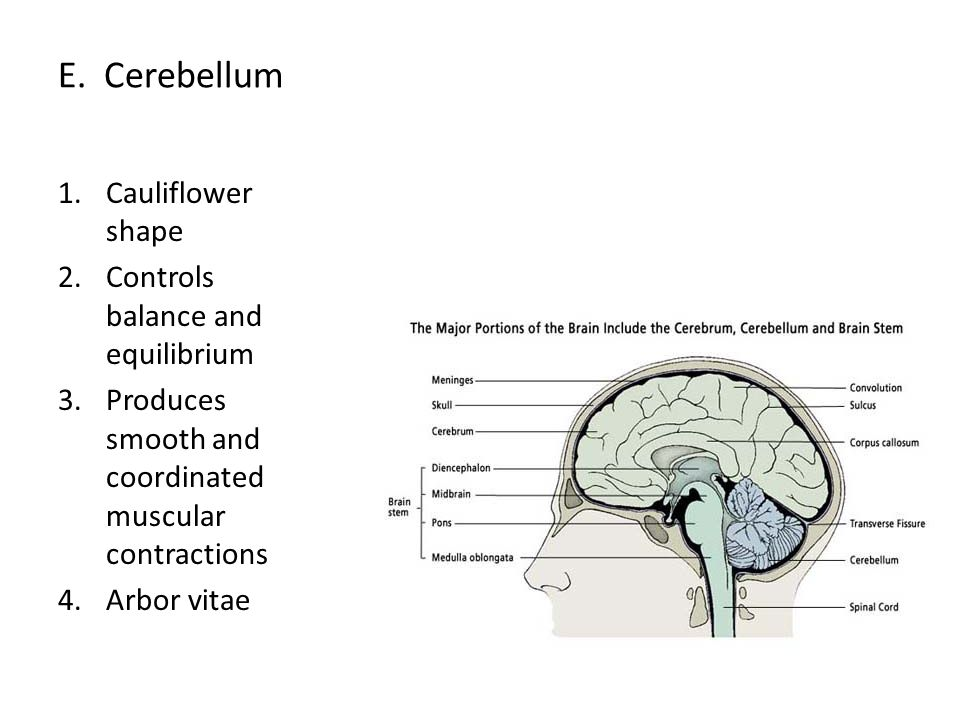 E. Cerebellum Cauliflower shape Controls balance and equilibrium