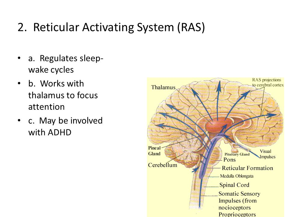 2. Reticular Activating System (RAS)