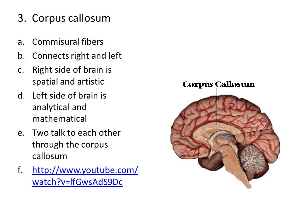 3. Corpus callosum Commisural fibers Connects right and left