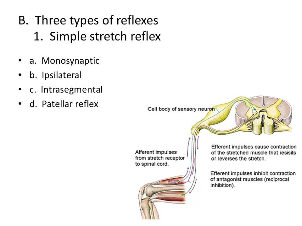 B. Three types of reflexes 1. Simple stretch reflex