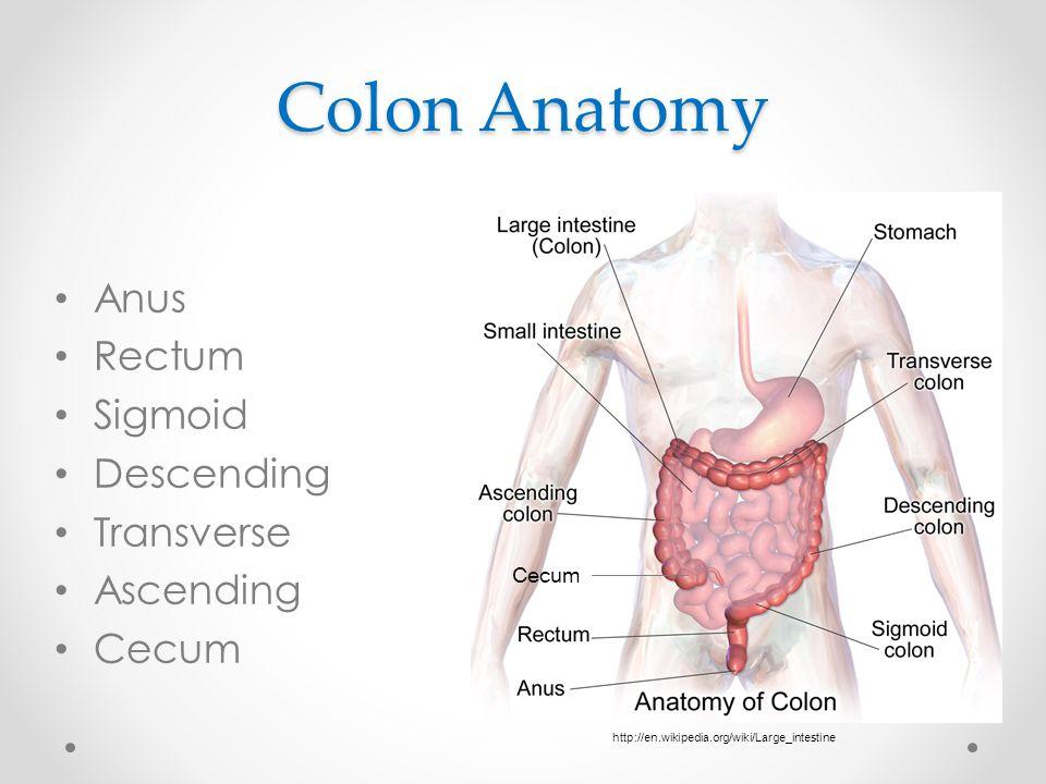Colon Anatomy Anus Rectum Sigmoid Descending Transverse Ascending