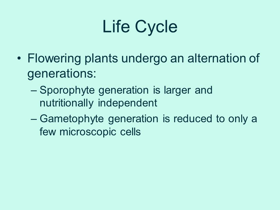 Life Cycle Flowering plants undergo an alternation of generations: