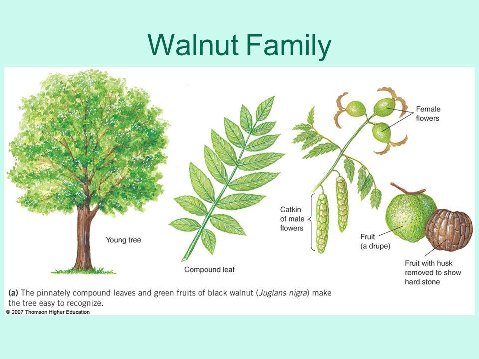 Walnut Family