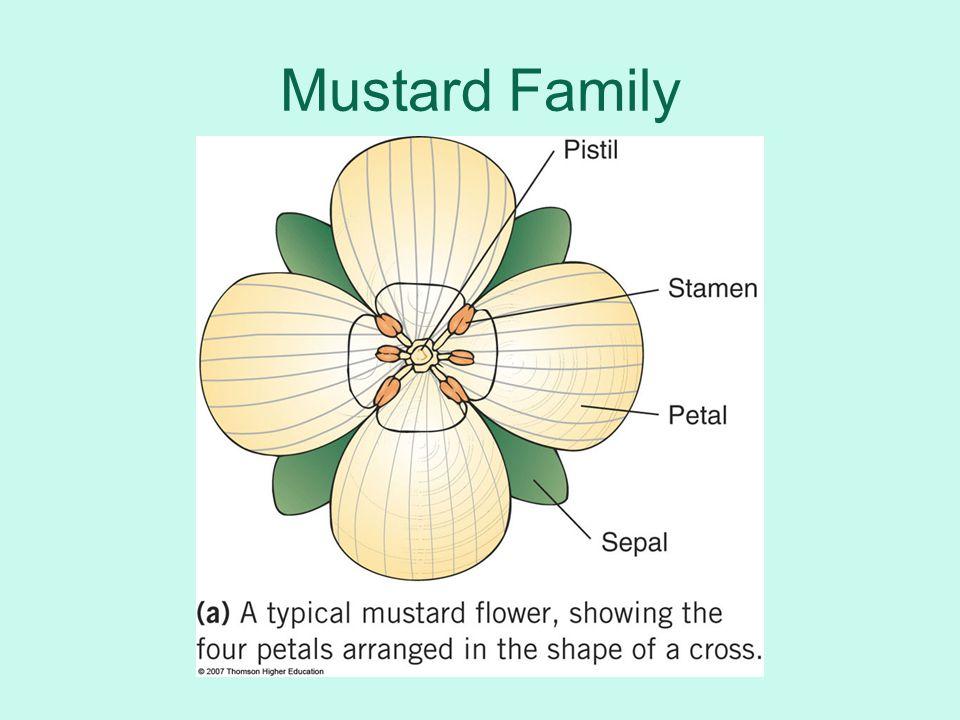 Mustard Family
