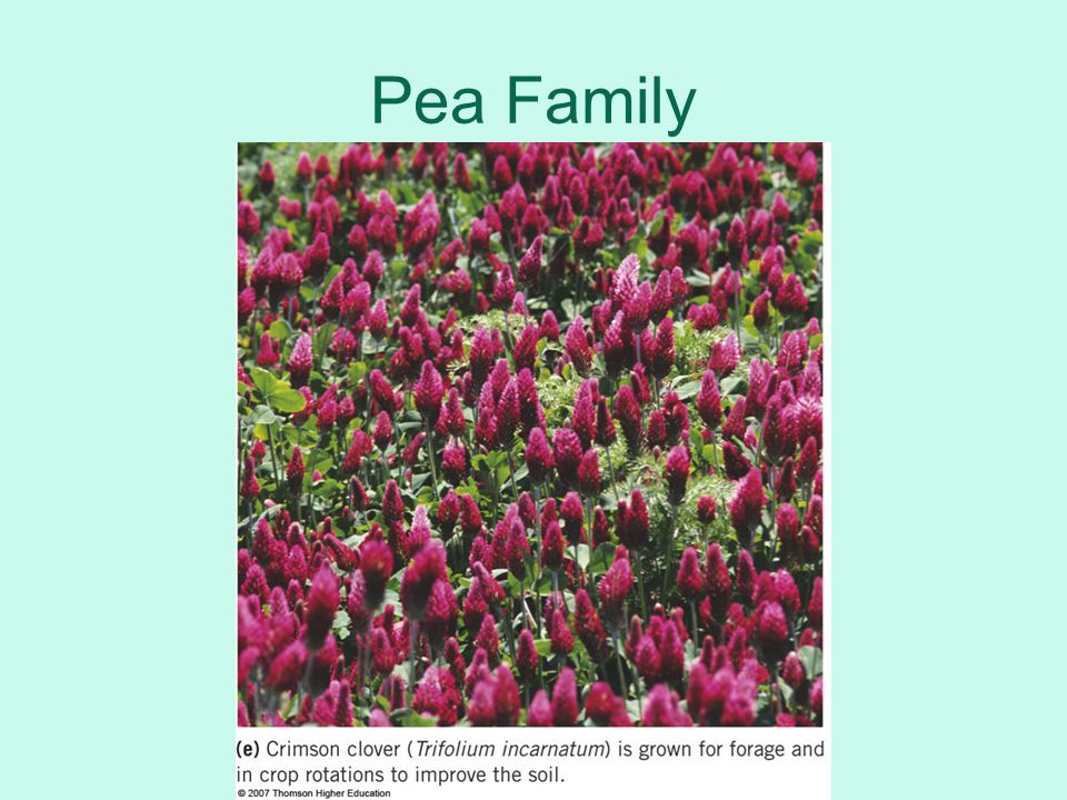 Pea Family 1st Hour Left off Here 12/5/11
