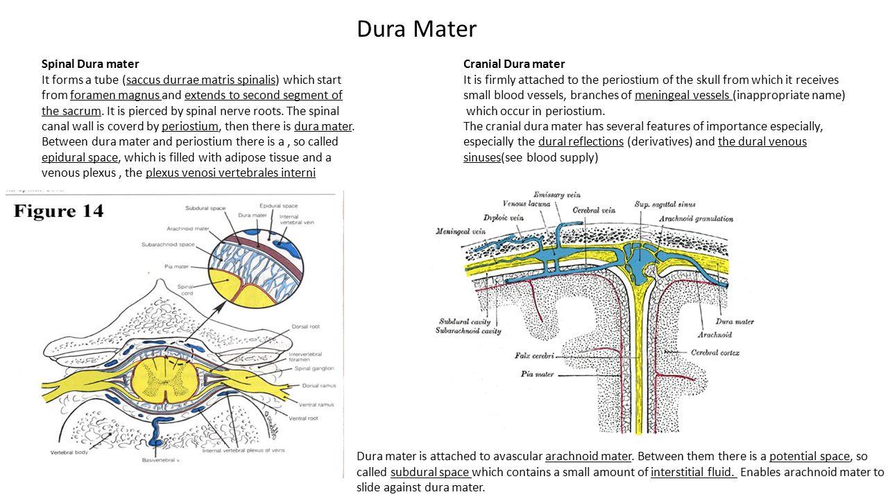 Dura Mater Spinal Dura mater