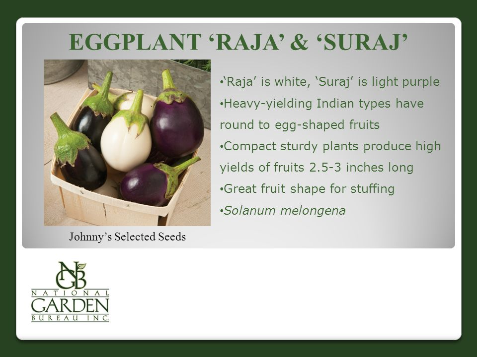 Eggplant 'Raja' & 'Suraj'