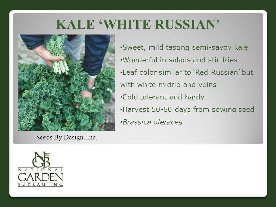 Kale 'White Russian' Sweet, mild tasting semi-savoy kale
