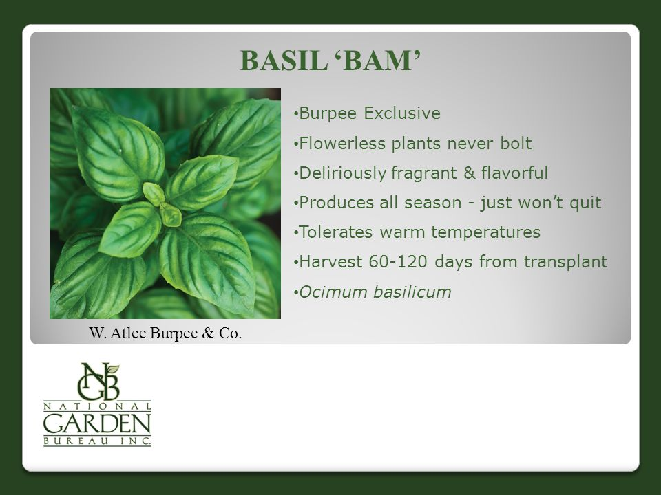 Basil 'Bam' Burpee Exclusive Flowerless plants never bolt