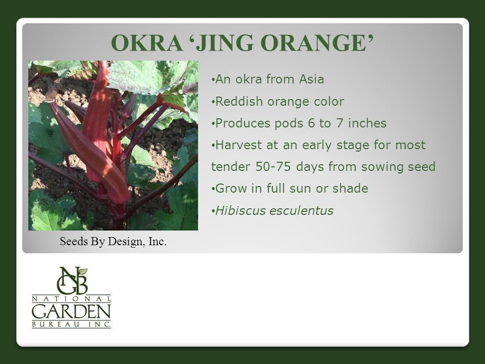 Okra 'Jing Orange' An okra from Asia Reddish orange color