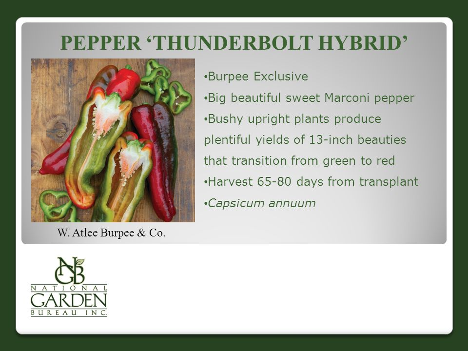 Pepper 'Thunderbolt Hybrid'