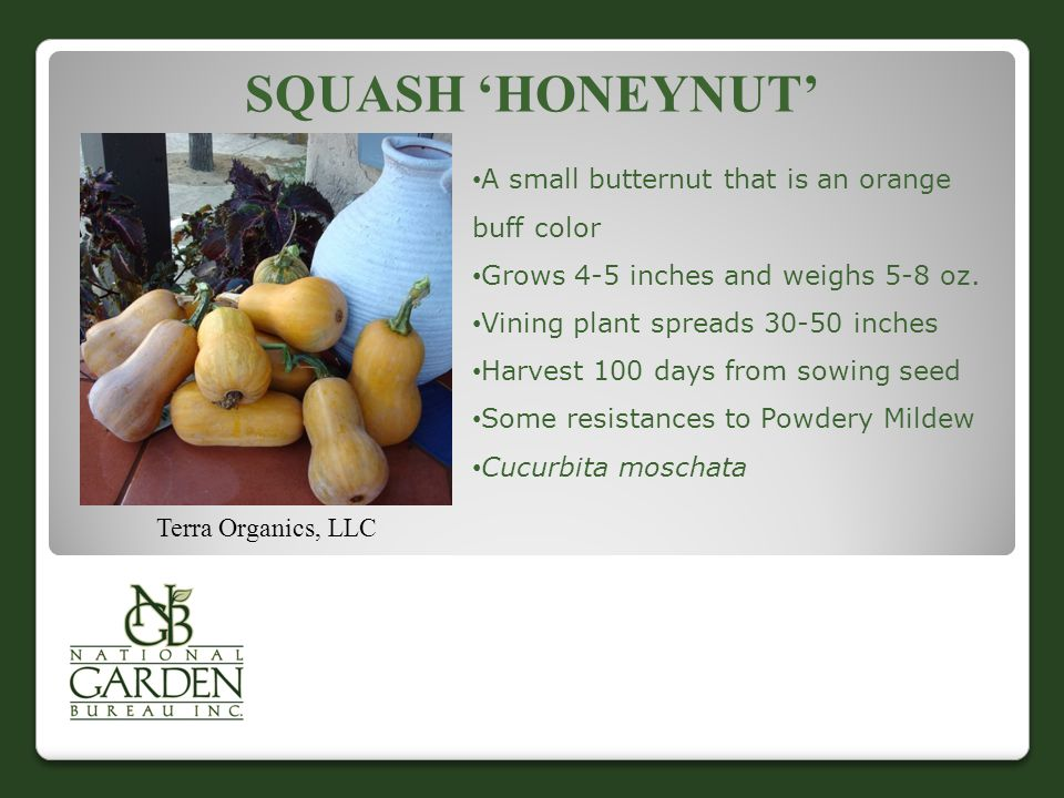 Squash 'Honeynut' A small butternut that is an orange buff color