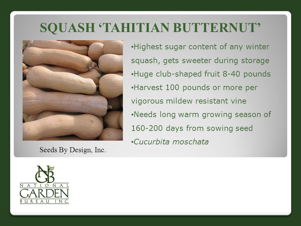Squash 'Tahitian Butternut'