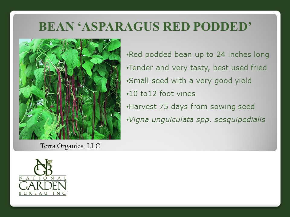 Bean 'Asparagus Red Podded'